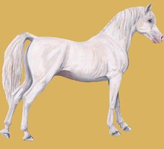 Acoger a un caballo de raza pura sangre árabe