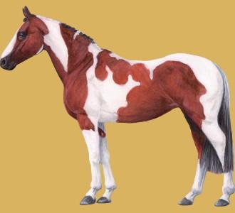 Acoger a un caballo de raza pinto