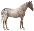 Appaloosa adulto - manto 46
