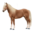 Haflinger adulto - manto 140