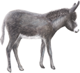 Burro gris - manto 71