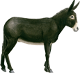 Burro negro de Berry adulto - manto 51